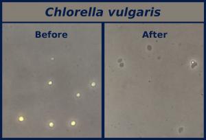 chlorella vulgaris algae disruption