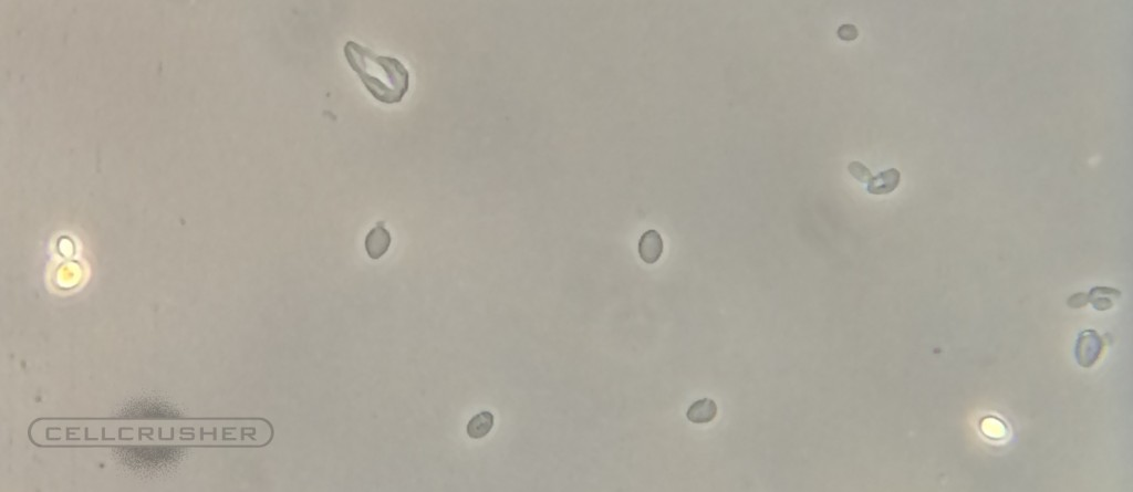 s cerevisiae ghost bead beater